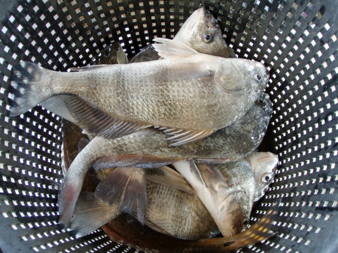 Black drum are a sought after species in Texas saltwater fishing