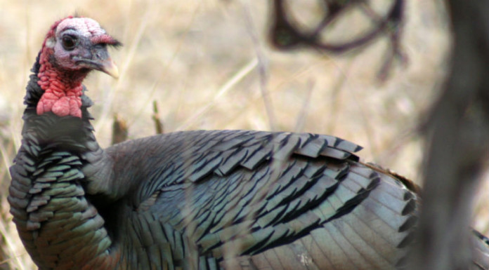 Texas spring turkey hunting is expected to be good