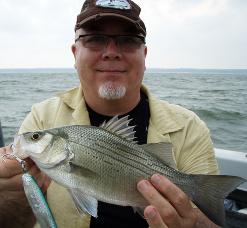 White bass are a sought after freshwater species