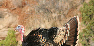 Turkeys have excellent eyesight, which means camouflage is vital in spring hunting situations.
