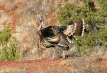 Turkeys react differently during different poritons of the spring season, which can make hunting difficult
