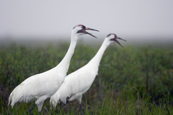 Judge rules Texas responsible for whooping crane deaths in 2008-09