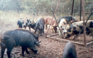 A Texas A&M University report predicts a massive rise in the feral hog population without proper control