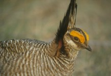 The multi-state plan includes habitat management goals and voluntary conservation practices to be applied throughout the lesser prairie-chicken's range