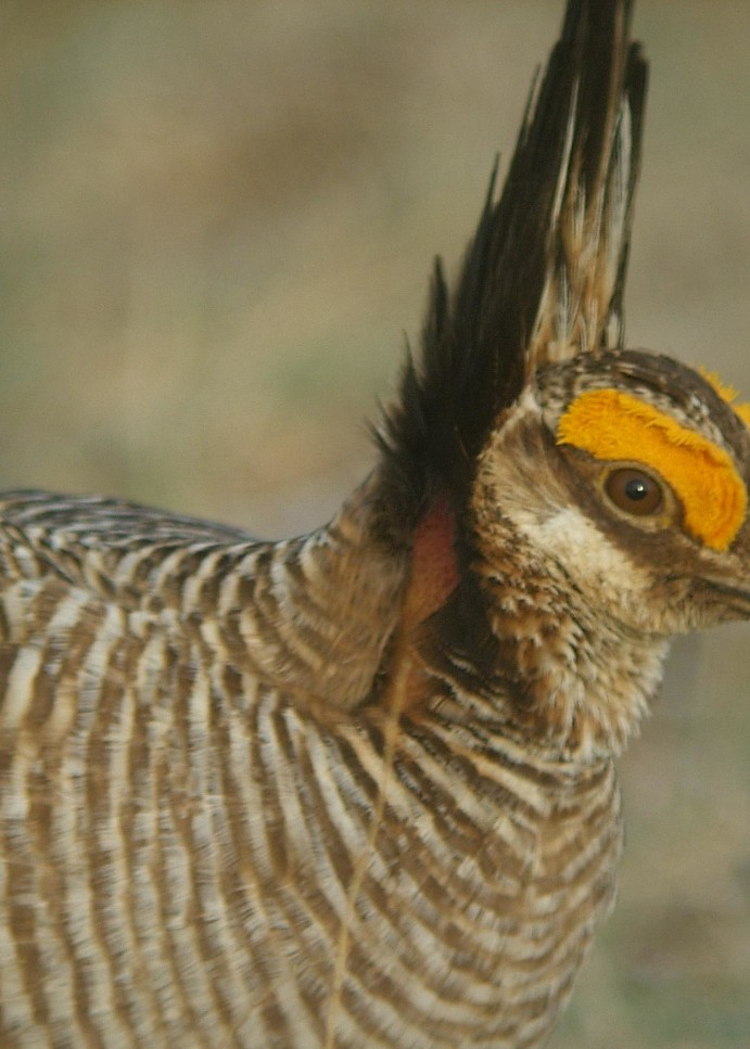 Lesser prairie-chicken entrenched at forefront of conservation efforts