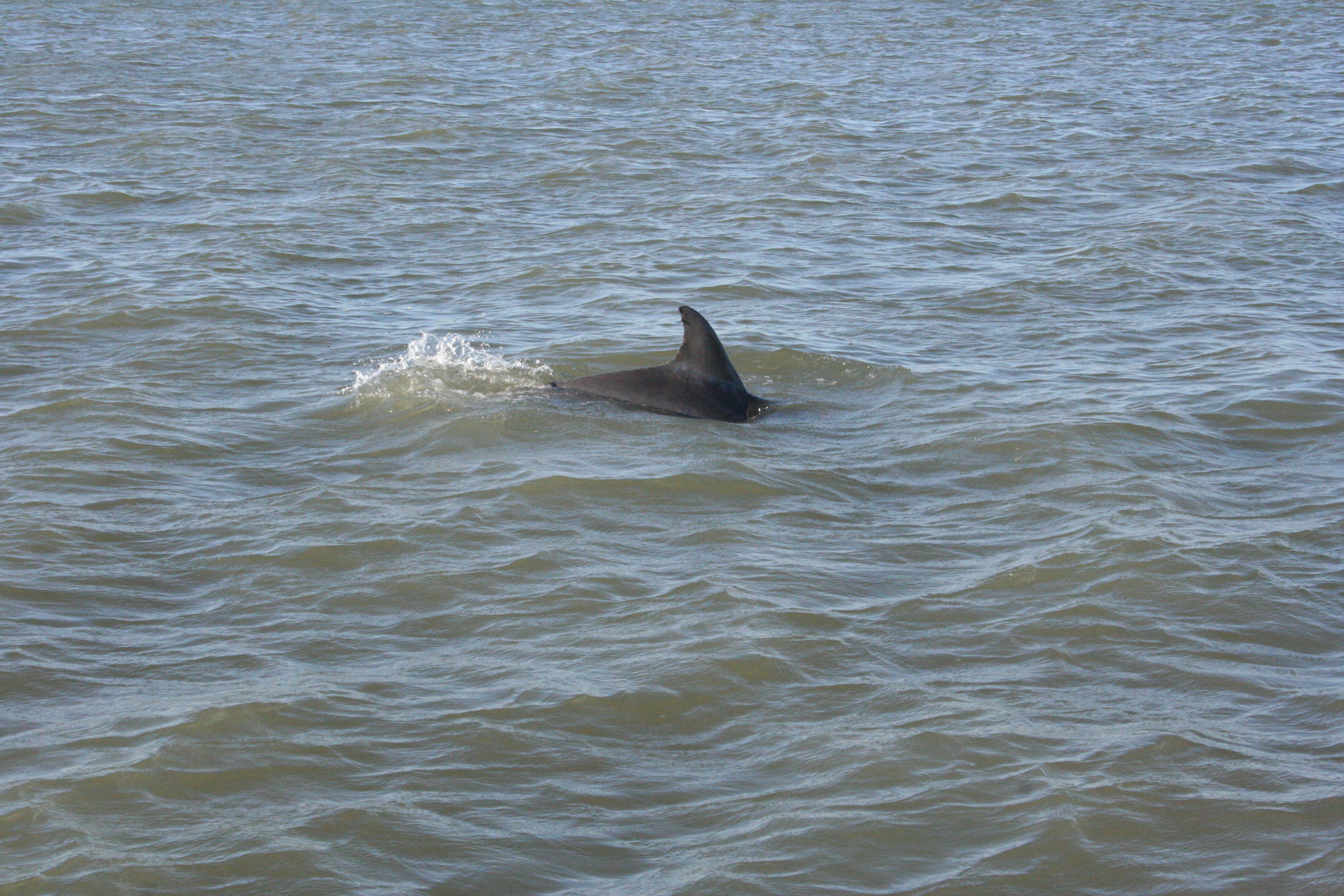 Porpoises frequent most notable fishing spots in Aransas Bay.