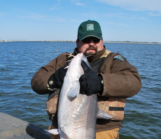 Flatheads, the main angling target for noodlers, differ from the more abundant channel catfish and blue catfish that inhabit many of the same waters.