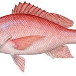 Comment from Gulf anglers sought on red snapper fishing season changes