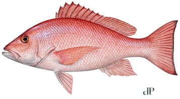 The 2013 red snapper season in federal waters off the Texas coast will run 17 days, beginning June 1.