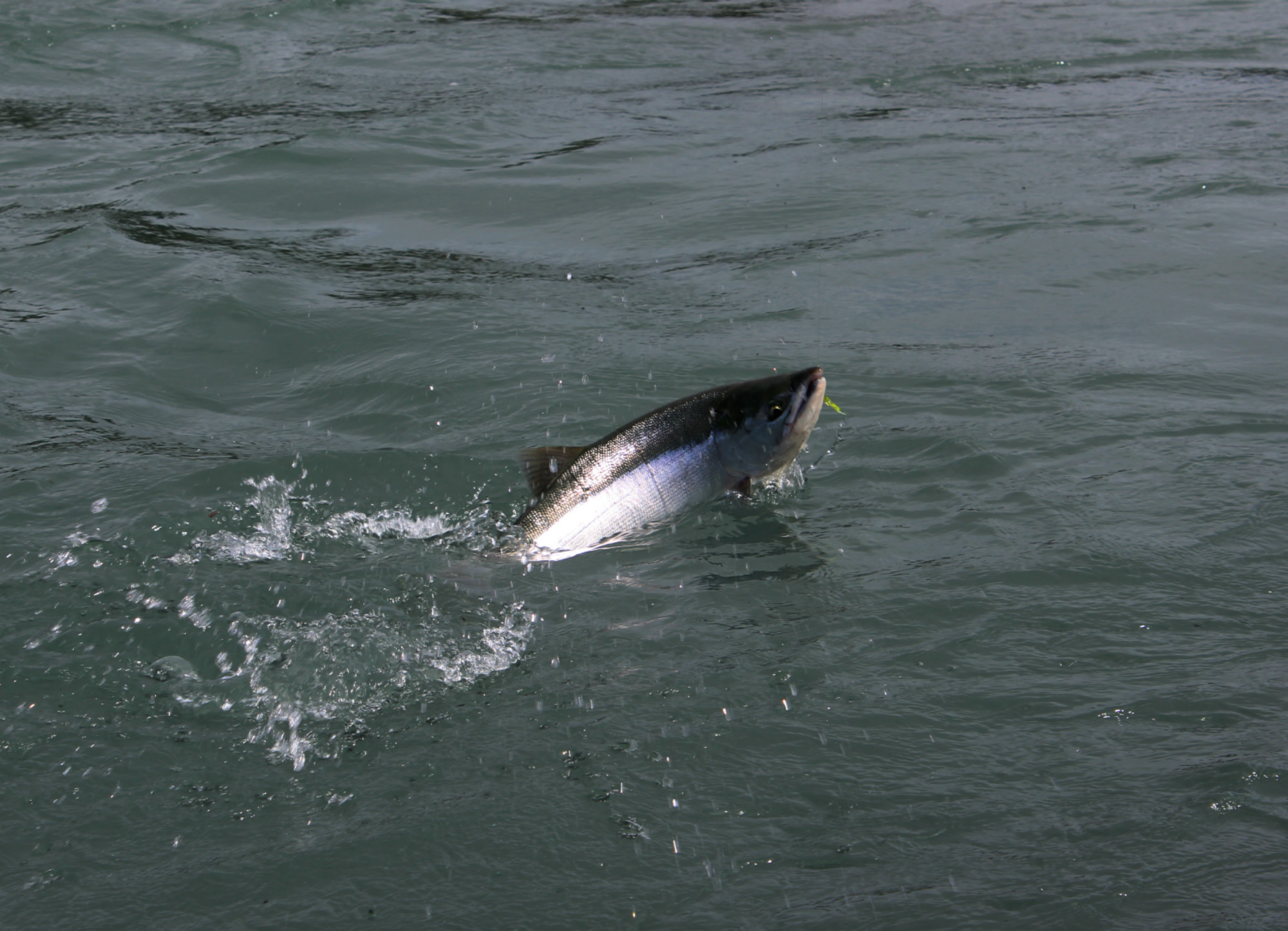 Blog archives grandinternet for Alaskan salmon fishing