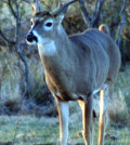 "While most hunters sizing up a buck know instantly whether it's a ""shooter"" or not, it is a good skill to know how to quantify the issue."