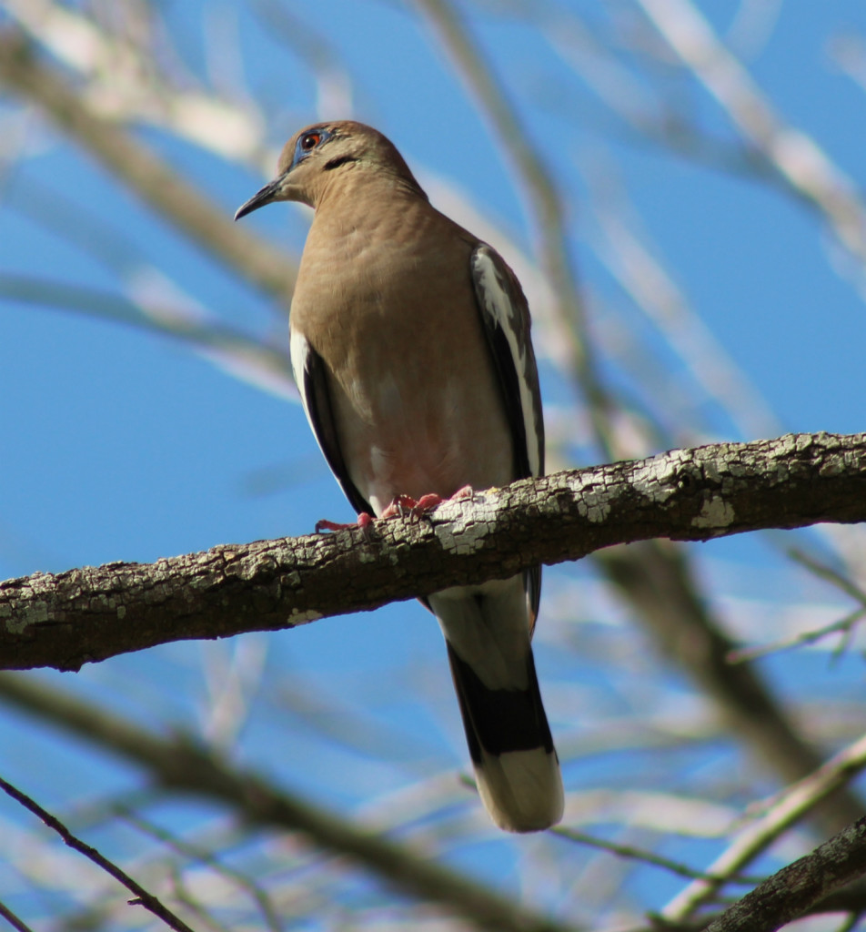The average dove hunter will shoot six to eight shells per bird harvested.