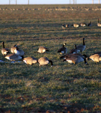 The U.S. Fish and Wildlife Service is proposing a 74-day waterfowl season in the Central Flyway, which includes Texas.