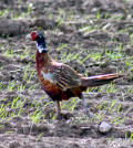 Texas pheasant season runs Dec. 7 to Jan. 5.