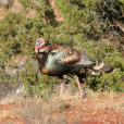 Turkeys are susceptible to a number of calling imitations