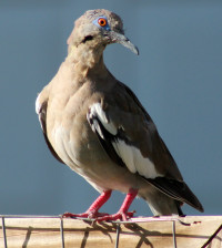 White-winged doves have expanded their range across the state of Texas