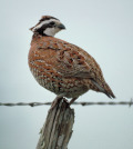 Since 1980 bobwhite populations in Texas have declined at a rate of about 5.6 percent per year.