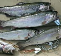 Rainbow trout thrive in cold water and can be caught on a variety of natural and artificial baits.