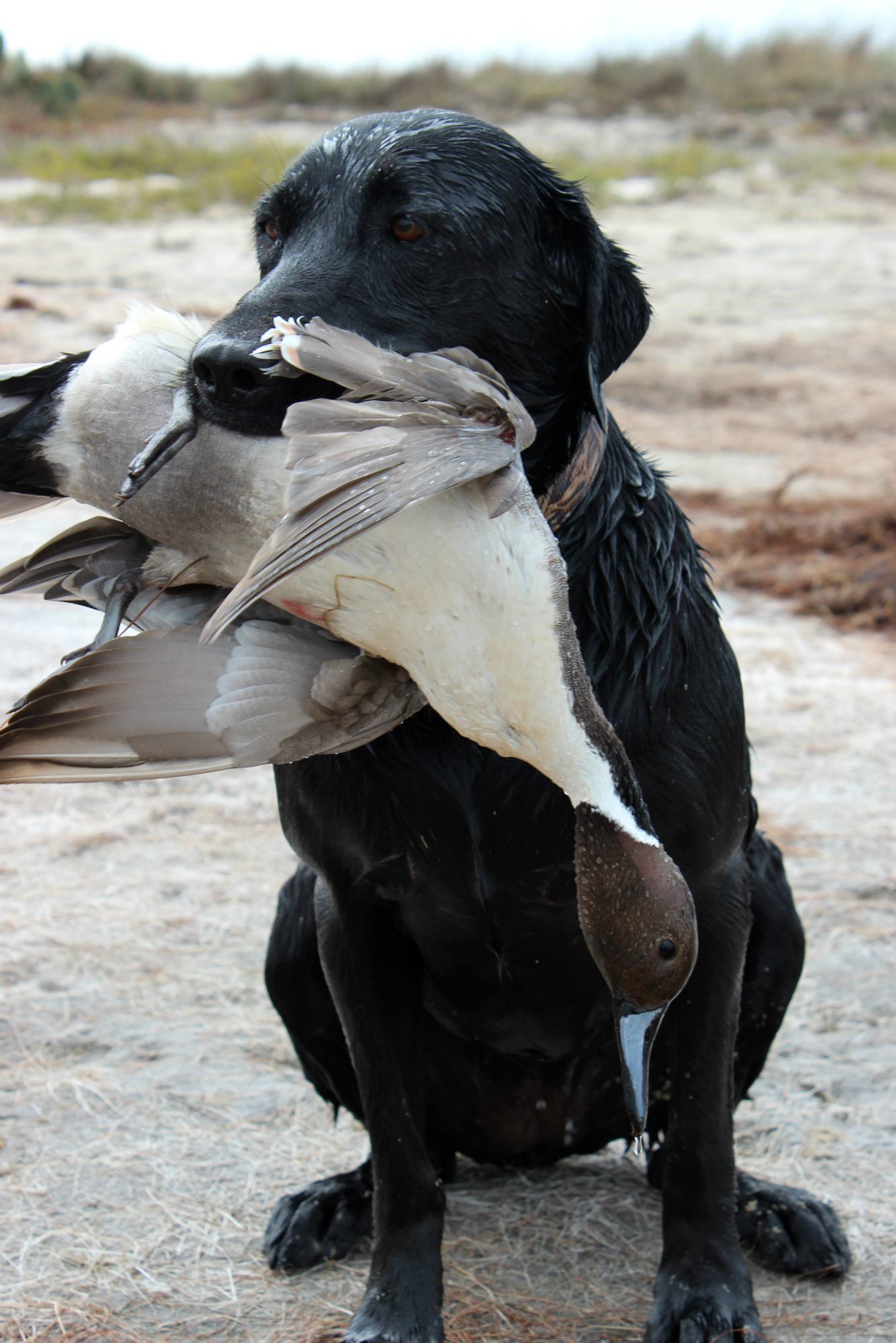 Texas Wildlife Management Areas Offer Excellent Public Waterfowl Hunting,Fettucini Pasta
