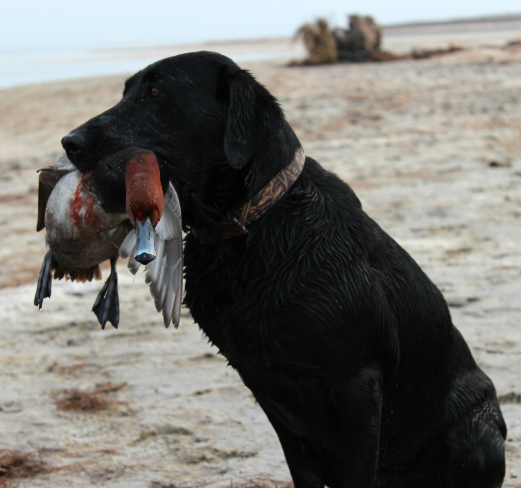 Texas Waterfowl Forecast