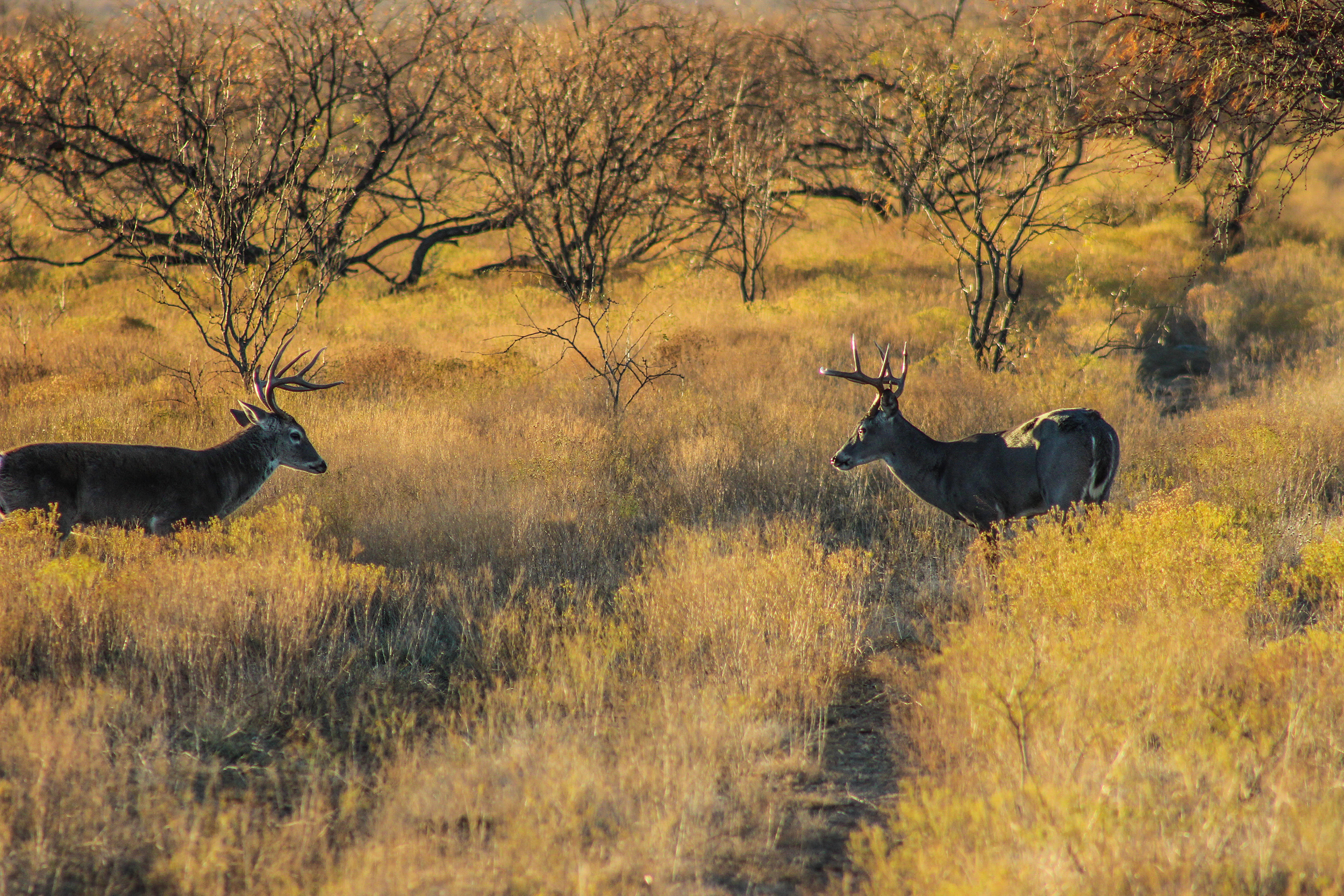 2020 Texas deer hunting forecast excellent despite ongoing ...